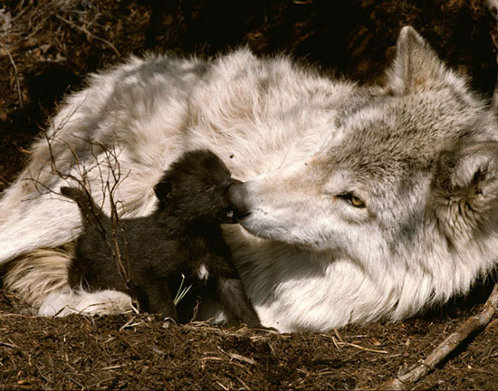 Photo generously shared by Living with Wolves http://www.livingwithwolves.org/