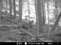 Journey in  Butte Falls, Oregon. Taken by trail-cam on Nov 14, 2011.