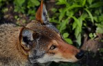 red wolf, photo rights to tredhead