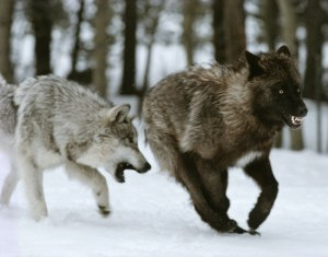 Living with Wolves photo