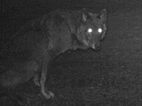 Black female wolf photographed in area of OR 7 by ODFW.