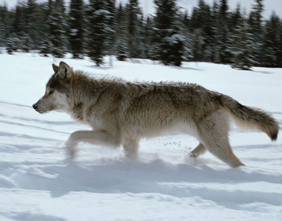 Photo courtesy of Living with Wolves (http://www.livingwithwolves.org)