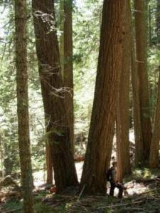 Area of Bybee Timber Sale, photo courtsey of Oregon WIld