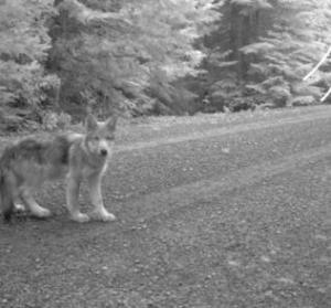 Journey's pup USFWS photo