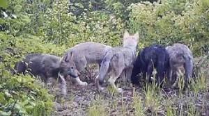 Huckleberry pups, June 2012