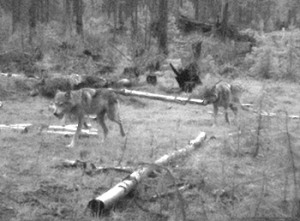 Salmo pack wolves, photo from WDFW website
