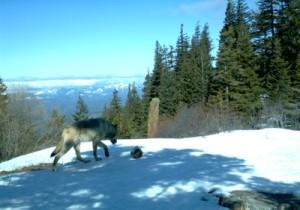 Teanaway wolf, from WDFW website