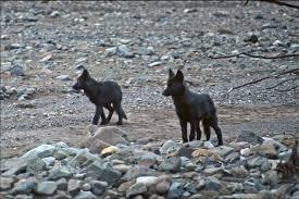 Toklat wolves, 1968. Gordon Haber photo