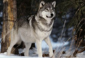Kamots of the Sawtooth pack. Photo courtesy of Living with Wolves