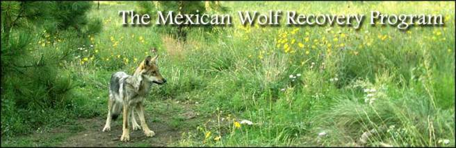 Mexican wolf, USFWS photo