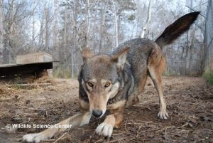 red wolf playing