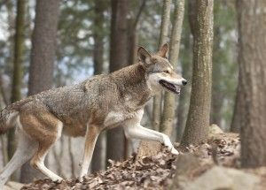 Red-wolf-WNC-web-300x215
