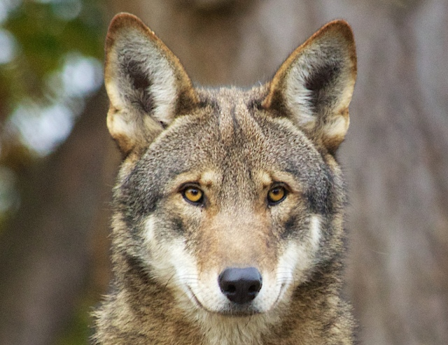 Red wolf. USFWS photo