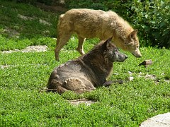 wolves-58998__180