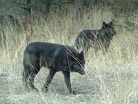 Wenaha wolves, ODFW
