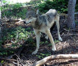 t_twisp_wolf