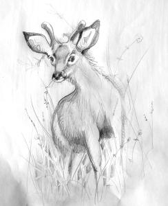 helen-deer-sketch