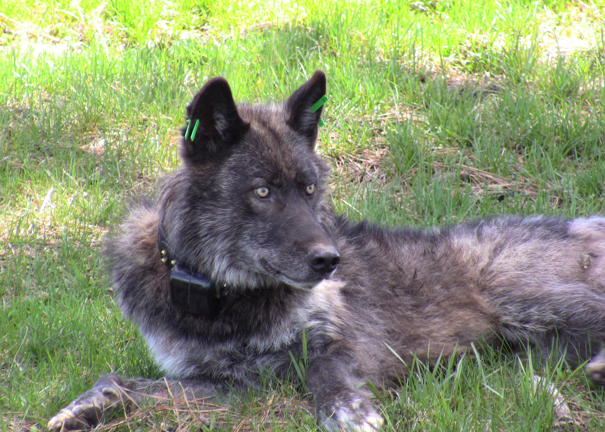 The Imnaha wolf pack's alpha male after being refitted with a working GPS collar on May 19, 2011. Photo courtesy of ODFW. More information. Download high resolution image.