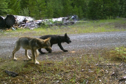 Summer 2016 pup surveys by U.S. Fish and Wildlife Service and ODFW confirmed at least two pups for the Rogue Pack this year. These images were caught on remote cameras in the Rogue River-Siskiyou National Forest on July 12, 2016 and are courtesy of U.S. Fish and Wildlife Service.
