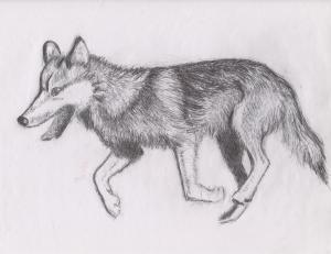 sketch-of-running-wolf