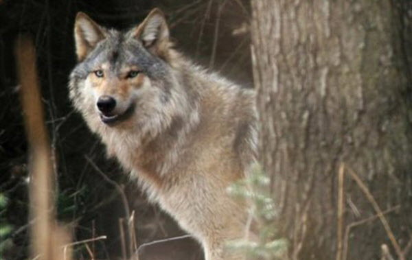 MJS Wolf hunting and trapping 2.jpg