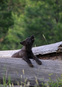 2014 pup of the Wenaha wolf pack. Photo taken by ODFW during summer 2014 in Wallowa County.