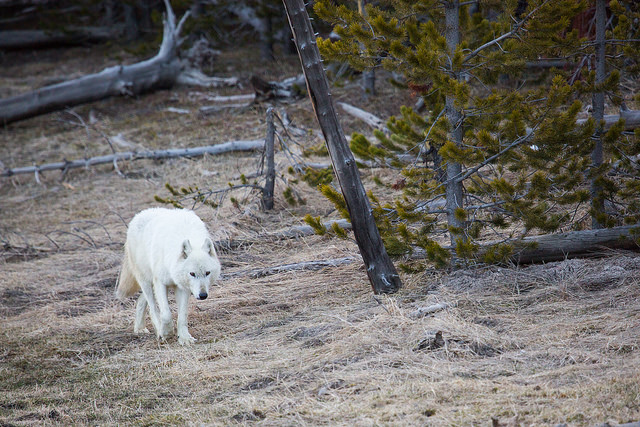 NPS white wolf.jpg